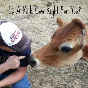 Cooke's Frontier: milk cow